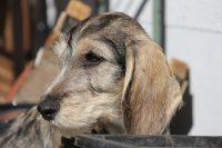 Petit Basset Griffon Vendéen vom Hoxwier